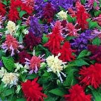 Salvia Steady Mix Seeds Annual - Flowers All Summer Long Salt Spray OK No Frost