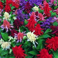 Salvia Steady Mix Seeds Annual - Flowers All Summer Long Salt Spray OK No Frost