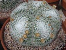 Mammillaria Parkinsonii cacti rare cactus seed 20 SEEDS