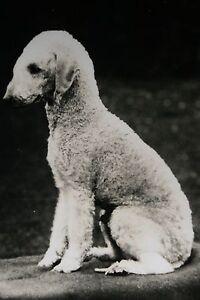 Bedlington Terrier   Original Vintage B/W Photo Card # Excellent Condition