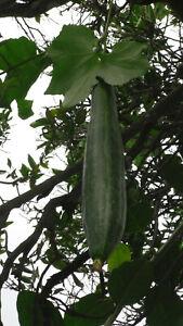 min 10 Samen Luffa, Schwammgurke, Schwammkürbis  (Luffa aegyptiaca) Saatgut