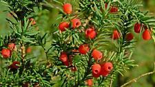 European Yew - Common Yew - Taxus baccata - 100+ seeds - Heirlom Seeds!