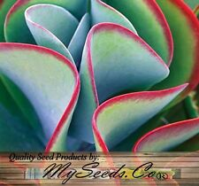 (15) Flapjack Plant Kalanchoe Species Mix, fancy ruffled succulent  -  Comb. S&H