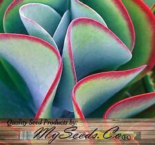 (15) Flapjack Plant Kalanchoe Species Mix, fancy ruffled succulent  -  Comb. S&H