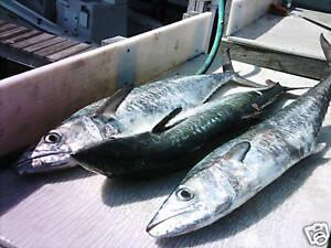 15 Kingfish Rigs * Live Bait * Heavy 58lb. backends * VMC Black Nickel Trebles