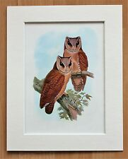 Bay Owl Bird Asia - Mounted Vintage John Gould Print 1960s Book Plate.