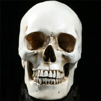 New Life Size Human Anatomical Anatomy Resin Head Skeleton Skull Teaching Model