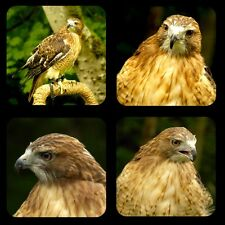 "Red Tailed Hawk 1/4"" Thick Rubber Coaster Set of 4"