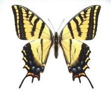 ONE ARIZONA PAPILIO MULTICAUDATA TWO TAILED SWALLOWTAIL UNMOUNTED WINGS CLOSED