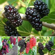 WL 100 Seeds Triple Crown Blackberry Giant Thornless Blackberries Black Berries