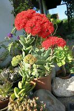 2 Crassula falcata silbernes Sicheldickblatt Sukkulente exotisch rote Superblüte