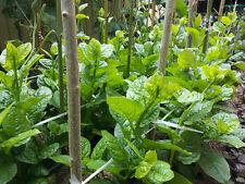 Malabar Spinach - PuiShak, Bachhali, Bertalha, Alugbati, Kodip pasaLi - 10 Seeds