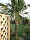 3 Palmier Trachycarpus fortunei environ 4 ans Rés -18°C Hauteur 30/40 Cm