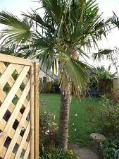 4 Palmier Trachycarpus fortunei environ 4 ans  Rés -18°C Hauteur 30/40  Cm
