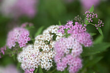 'Little Princess' Spirea / Spiraea Japonica 'Little Princess' 20-30cm Tall