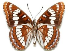 ONE REAL BUTTERFLY LIMENITIS LORQUINI LORQUINS ADMIRAL UNMOUNTED WINGS CLOSED