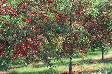 Organic Heirloom Tart Red Cherry Tree Early Richmond Type 30 seeds