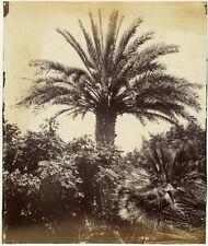 Photo Albuminé Ceylan Sri Lanka Etude d'Arbre Vers 1870/80