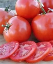 "Tomato ""Oregon Spring"" - Early Very  Cold Tolerant - 30+ Seeds - Compact Bush -"