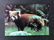 Vintage Postcard: Animals #A186: Red Panda: London Zoo