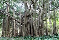 Ficus Benghalensis Tree 100+ Seeds, Banyan, Bengal Fig, East Indian Fig Bonsai
