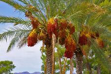palm, DATE PALM tree, phoenix dactylifera, edible fruit, 10 seeds! GroCo#