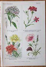 Vilmorin: Flowers Beautiful Print Dianthus - 1896