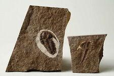 Russian trilobite Bathyuriscellus siniensis (IVANTSOV 2005) fossil Russia