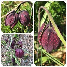 Schachbrettblume Fritillaria meleagris Schachblume geschützte Wildpflanze
