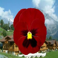 50 Seeds Pansy Giant Clear Ruby FLOWER SEEDS