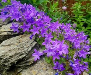 Campanula Portenschlagiana 'Wall Bellflower' -Easy Alpine Rockery Plant 9cm Pot