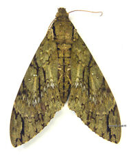 Unmounted Butterfly/Sphingidae - Cocytius (Amphonyx) lucifer lucifer, M, Bolivia