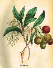 Parlor Annual Hand-Colored Woodcut -c1850- THE ARBUTUS