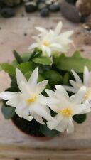 RHIPSALIDOPSIS HATIORA GAERTNERI Easter Cactus White 5cm Stem Cutting Esqueje