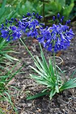 New Agapanthus Flower of Love hardy to -15C   garden perennial plant