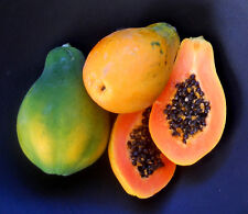 Golden Enano papaya/easy crecer pot papaya/20 mejores semillas