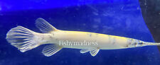 New listing LIVE TROPICAL FISH -Golden Marbled Florida Gar Fish 9.5 Inches Rare