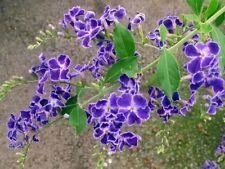 10 SEMI DI Duranta repens , fiore stupendo