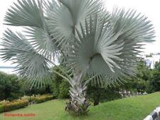 10x Palmen Samen Bismarckia nobilis (Silber Bismarckpalme) Winterhart -3°C