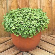 500+WATERCRESS Organic Non-Gmo Seeds SUPERFOOD Spring/Fall Garden Container