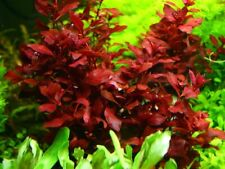 Ludwigia Red Mini -Freshwater Aquatic Live Plants Super Price!