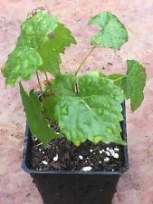 Thornless Boysenberry Live Plant Nutritious Health Plants So Sweet Boysenberries