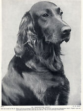 IRISH SETTER HEAD STUDY NAMED CHAMPION DOG OLD ORIGINAL DOG PRINT FROM 1934