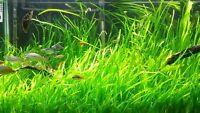 18 jungle vals Vallisneria Easy Aquarium Plant aquascaping planted tank easy
