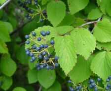 Arrowwood   Viburnum dentatum   25 Seeds   (Free Shipping)