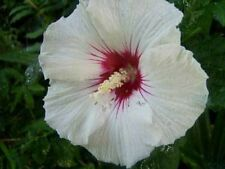 Hibiscus syriacus Red Heart 100 seeds