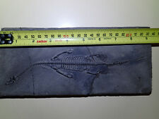 KEICHOUSAURUS hui Fossil 9.5 inch (240mm), complete and100% GENUINE.