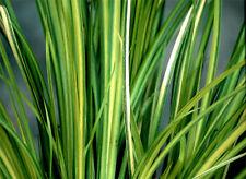 Golden Japanese Sweet Flag Acorus gramineus Ogon Pond Marginal Bog Plant