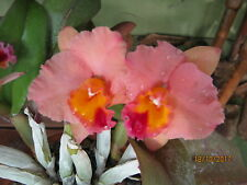 "Slc. Final Touch "" Mendenhall "" Am/Aos Cattleya Orchid Plant"