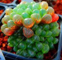 50 pcs/bag Yulu Succulent Seeds Beautiful Lotus Lithops Pseudotruncatella